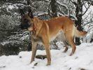 chien de race berger belge