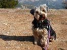 chien race yorkshire terrier