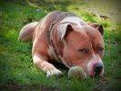chien amstaff balle repos