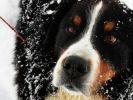 chien bouvier bernois neige