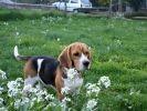 chien beagle champs