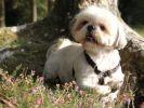 chien shih tzu jardin