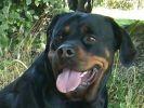chien rottweiler langue