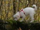 petit chien bois harnais