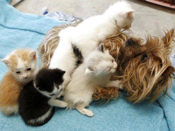 La chienne nourrit les chatons une femelle yorkshire l ve une port e de chatons abandonn s - Temps de portee d une chienne ...