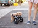 chien chariot roues handicap