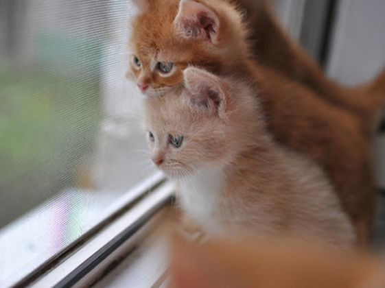 chatons roux freres