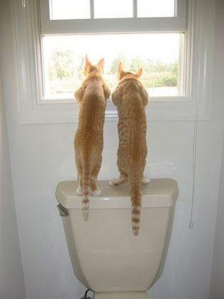 deux chats roux toilettes