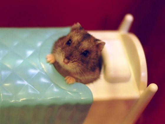 au lit le hamster des hamsters qui font tout comme nous photos page 1 wamiz. Black Bedroom Furniture Sets. Home Design Ideas