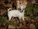 Chihuahua, bébé chien