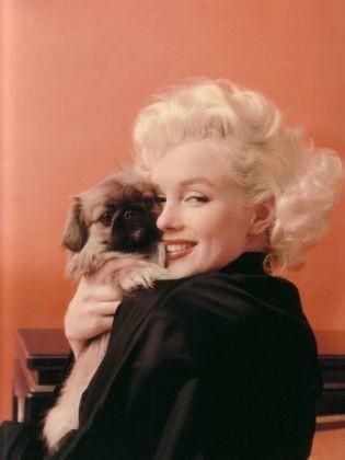 Marilyn Monroe, star, épagneul tibétain, chien