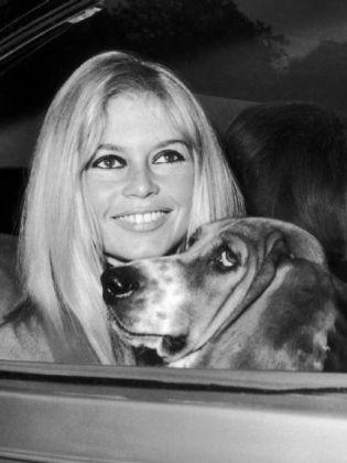 Chien, star, Brigitte bardot, Basset hound