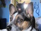 chat moqueur chien