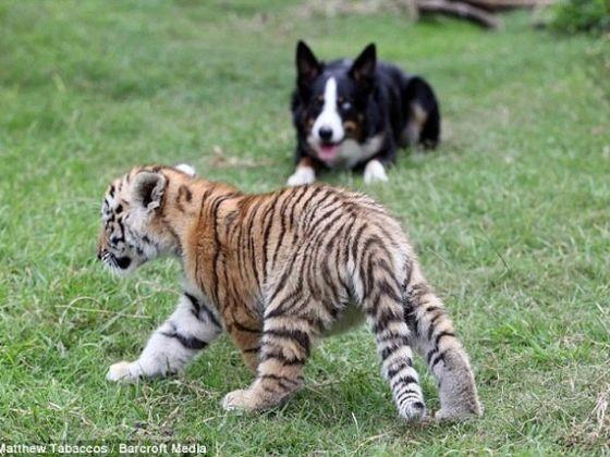 le chien surveille le b b tigre un chien de troupeau pour des tigres vid o du jour. Black Bedroom Furniture Sets. Home Design Ideas