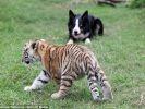 chien troupeau bébé tigre