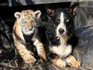 tigron chien amis