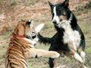 chien tigre jouent