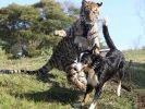 chien tigre amis