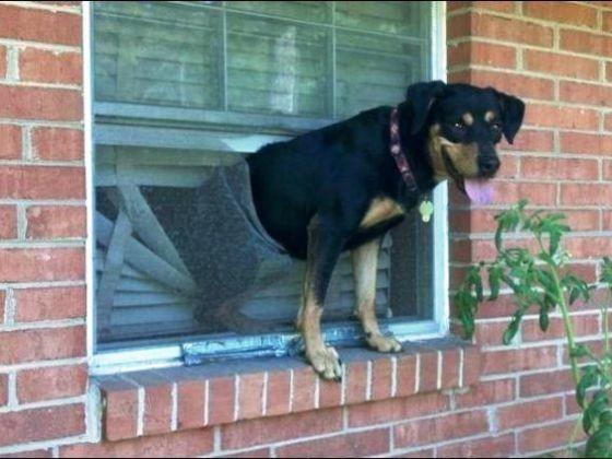 chien traverse fenetre