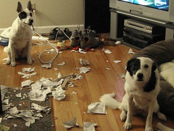 2 chiens betises salon