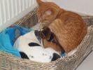 dodo entre jack Russel et chat