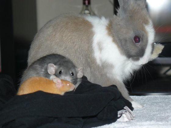 amiti entre un lapin un rat et une souris les plus belles amiti s de vos animaux en photos. Black Bedroom Furniture Sets. Home Design Ideas