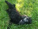 Sianna, caniche dans l'herbe