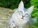 chat angora turc en promenade dehors