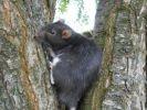 rat dans un arbre