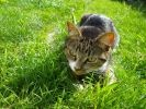chat qui chasse dehors
