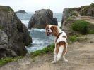 Cavalier King Charles Spaniel au bord des falaises