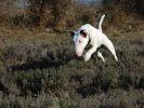 Salander Bull terrier
