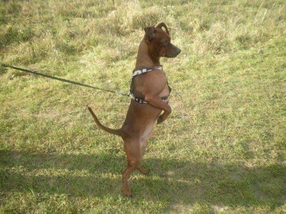 chien debout sur les pattes arrières