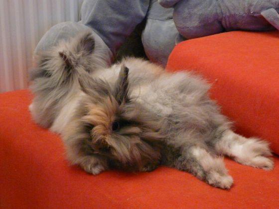 deux lapins nains angoras dorment l'un sur l'autre