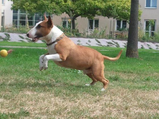 chien joue à la balle
