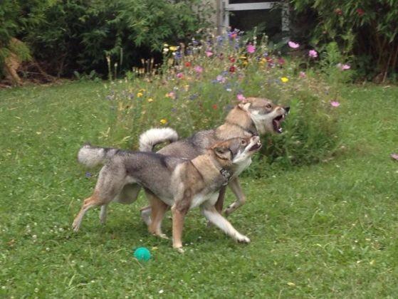 chiens jouant ensemble