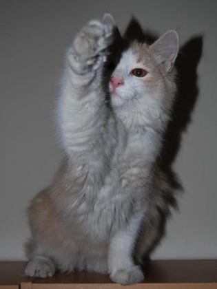 chat la patte en l'air