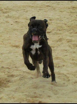 chien boxer qui court