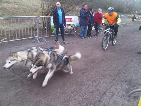 malamutes de l'Alaska en chiens de traineau