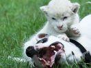 chien qui se fait masser par un lionceau blanc