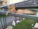 chat dans une gouttière