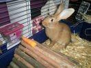 lapin mangeant une carotte