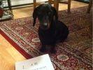 betise chien mange sous vetements