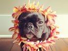 chien star du web bouledogue français
