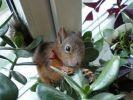 écureuil bébé sauvé