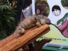 animal expo iguane