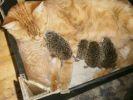un chat adopte une portée de hérissons
