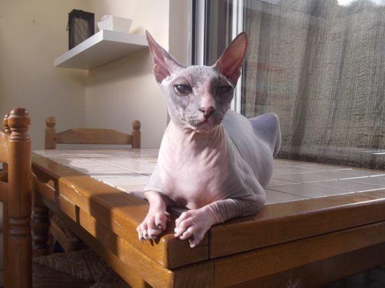photo de chat sphynx