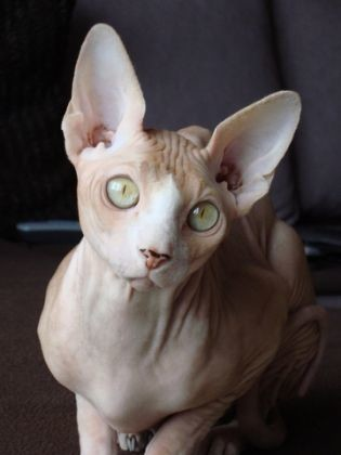 chat sphynx robes
