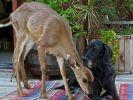 un chien adopte un daim